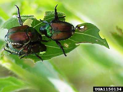japanese_beetle01