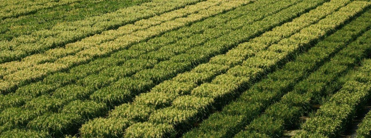 NUOVI OGM? COLDIRETTI CONTRO TUTTI