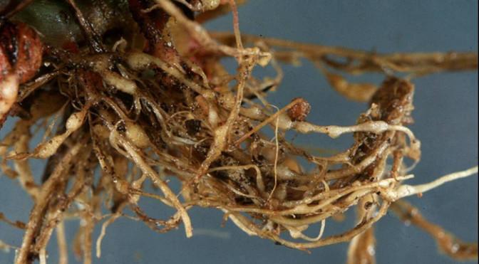 galle nematode-2