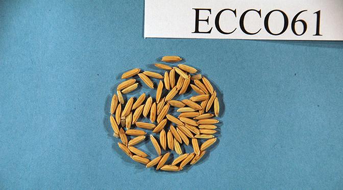 ECCO 61