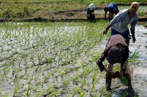 I TEDESCHI FINANZIANO IL RISO DI MYANMAR