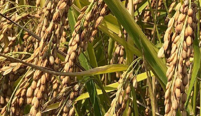 Commercio mondiale di riso