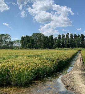Azzeramento dazi sul riso in Brasile