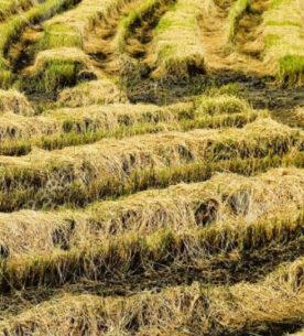 Paglia di riso