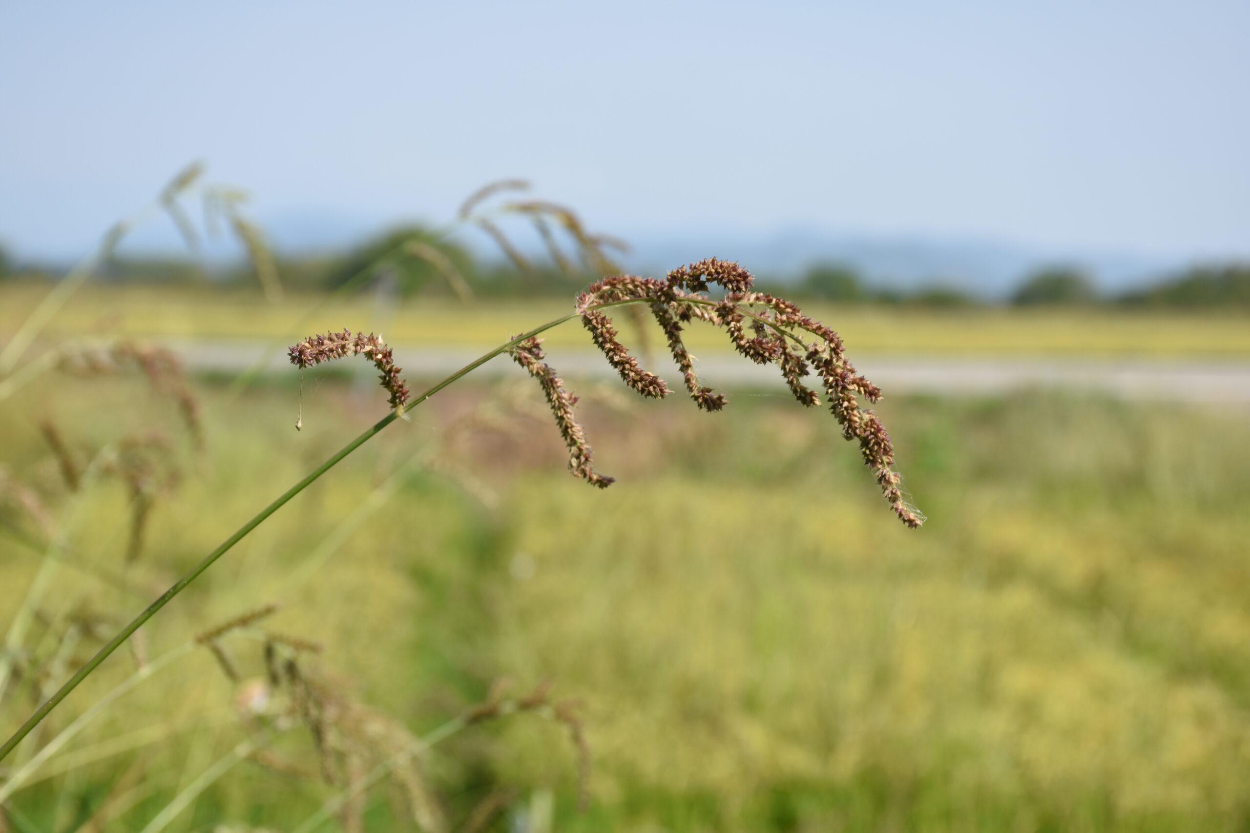Echinochloa in Rice