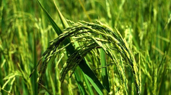 fioritura riso